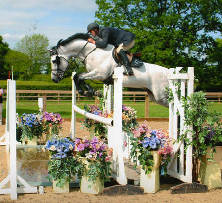Showjumping Stallion